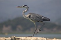 I hope you will enjoy birdwatching at Lake Skadar
