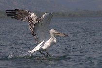 Lake Skadar is birding hotspot with more than 280 species