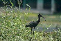 As if from ancient time ~ Glossy Black Ibis