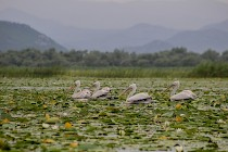 Birdwatching at Lake Skadar